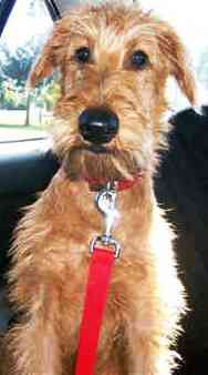 Irish Terrier dog featured in dog encyclopedia