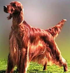Irish Setter dog featured on dog encyclopedia