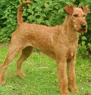 Irish Terrier profile on dog encyclopedia