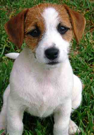 Parson Russell Terrier profile on dog encyclopedia