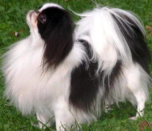 Japanese Chin profile on dog encyclopedia