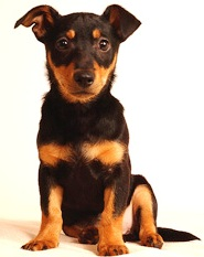 Lancashire Heeler profile on dog encyclopedia