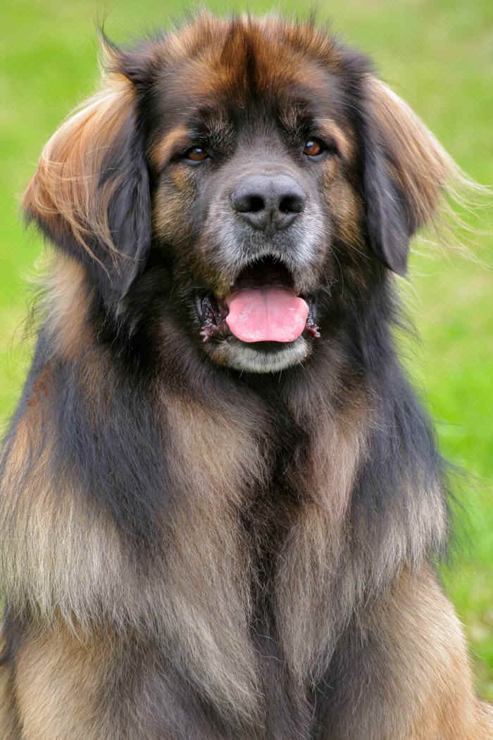 Leonberger profile in dog encyclopedia
