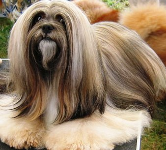 Lhasa Apso profile on dog encyclopedia