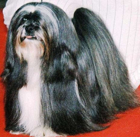 Lhasa Apso dog featured in dog encyclopedia