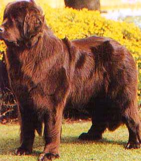 Newfoundland profile on dog encyclopedia
