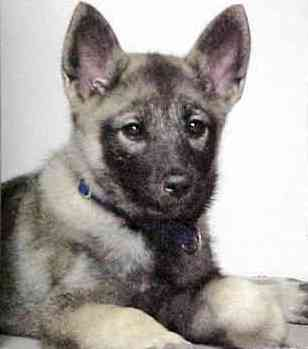 Norwegian Elkhound dog featured in dog encyclopedia