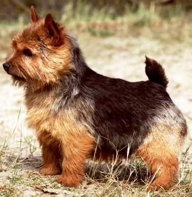 Norwich Terrier dog featured in dog encyclopedia