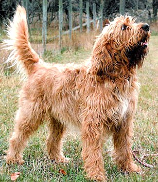 Otterhound dog featured in dog encyclopedia