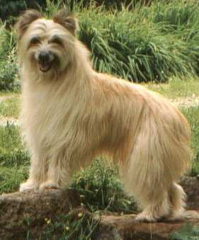Pyrenean Shepherd dog featured in dog encyclopedia