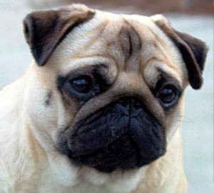 Pug dog featured in dog encyclopedia
