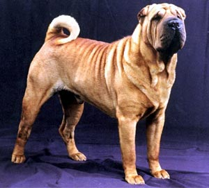 Chinese Shar-Pei dog on dog encyclopedia