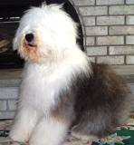 old english sheepdog look they cant see
