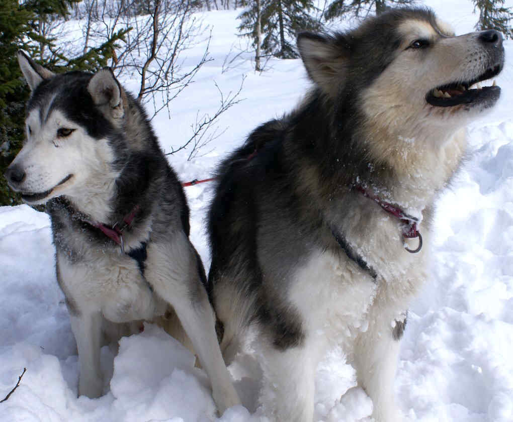 Siberian Husky dog featured in dog encyclopedia