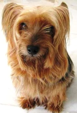 Silky Terrier profile on dog encyclopedia