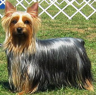 Silky Terrier dog featured in dog encyclopedia
