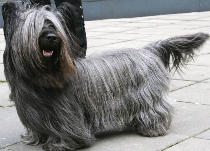 Skye Terrier dog featured in dog encyclopedia
