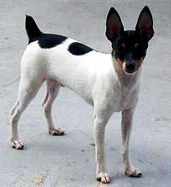 Toy Fox Terrier profile on dog encyclopedia