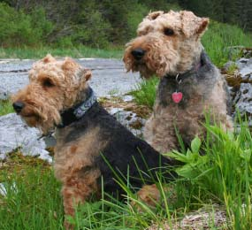 Welsh Terrier dog featured in dog encyclopedia