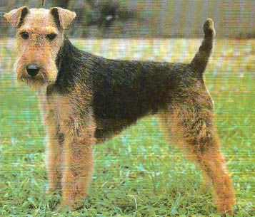 Welsh Terrier profile on dog encyclopedia