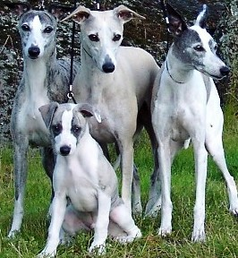 Whippet dogs featured in dog encyclopedia