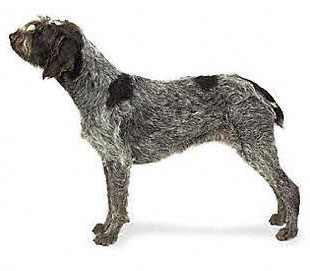 Wirehaired Pointing Griffon dog featured in dog encyclopedia