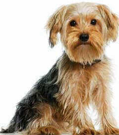 Yorkshire Terriers are a great pet choice