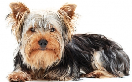 Yorkshire Terrier dog featured in dog encyclopedia